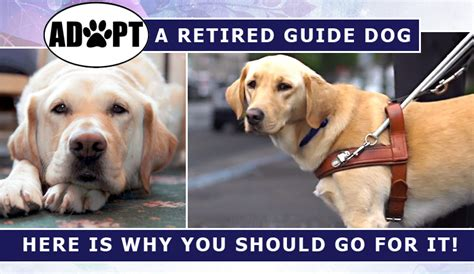 adopt a retired adopting a retired guide here is why you should go for it budgetpetworld