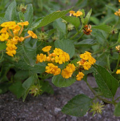 is lantana poisonous to dogs lantana lantana camara verbena family milton fl august 5 2006 i was surprised to