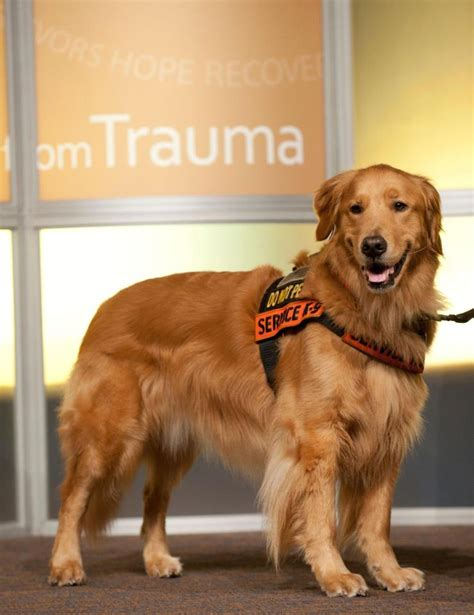 golden retriever service dogs the 2013 ace award recipients akchumanefund