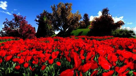 wallpaper flower red red flower hd wallpapers