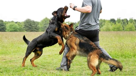 rottweiler performance uk rottweiler vs german shepherd doovi