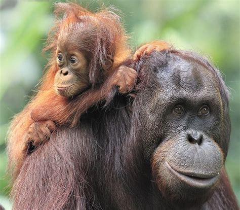 orangutan facts animal facts encyclopedia