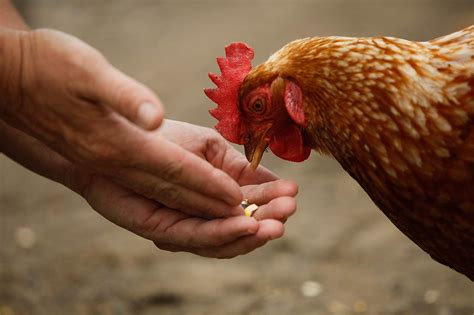 backyard chickens and salmonella backyard chickens linked to salmonella outbreaks cdc says