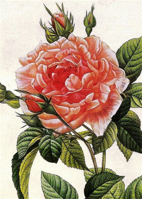 Interior Decorator And Designer The Raphael Of Roses Pierre Joseph Redoute Nature As