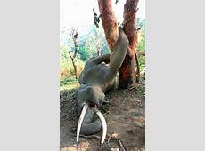 How This Elephant Got Killed By A Tree....TRAGIC - Naibuzz Jackfruit