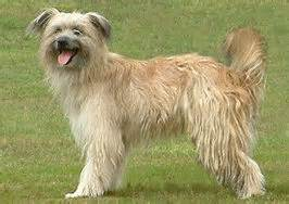 le berger kaufen pyrenese herdershond