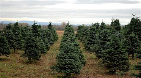 cut your own christmas tree westminster md 3 places to cut your own tree around portland