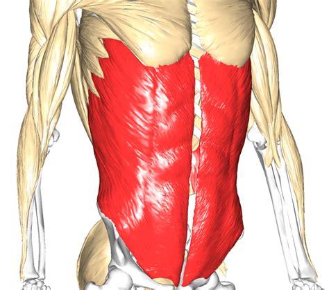 muscolo obliquo interno addominali obliqui muscoli info