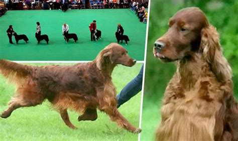 irish setter dies dog show no tolerance vow after crufts dog death uk news