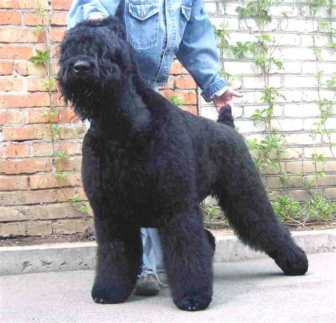 black russian terrier puppies breed directory black russian terrier breed