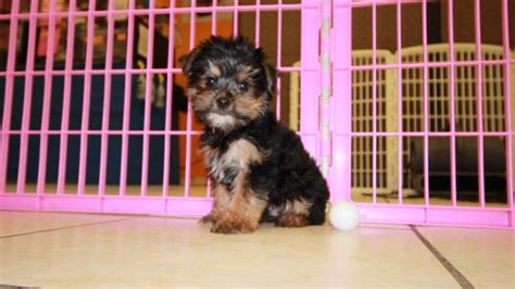 yorkie poo for sale in atlanta ga yorkie poo puppies for sale in atlanta ga at puppies for sale local