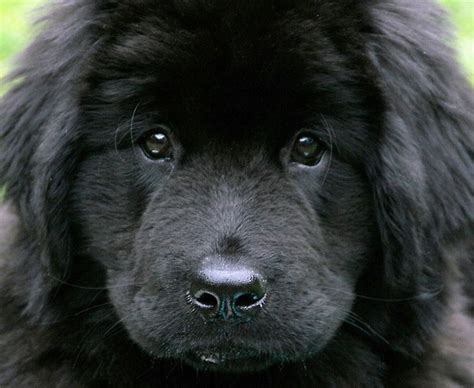 imagenes a blanco y negro de perros el perro negro tipos significados leyendas y fotos de