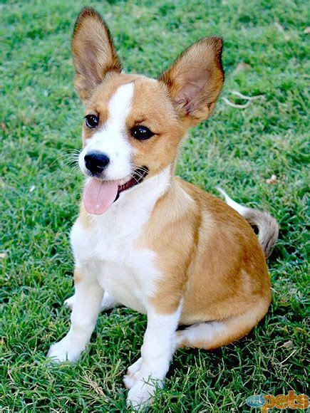 corgi chihuahua puppy corchi corgi and chihuahua mix mixed breeds of dogs chihuahua mix