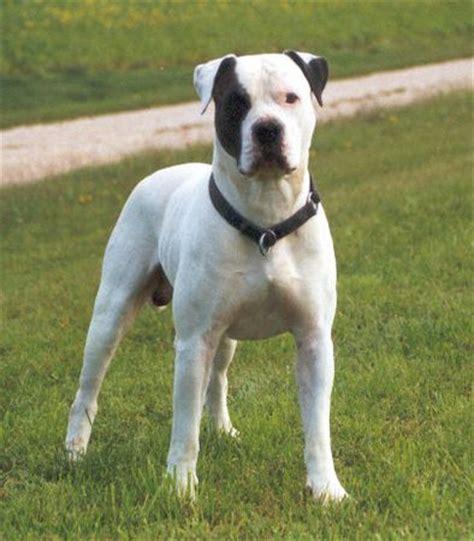 american bulldog colors american bulldog country bulldog amerikanische