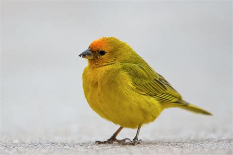 orange fronted yellow finch wikipedia