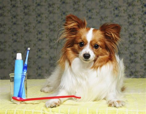 how to clean s how to clean your papillon s teeth grooming tutorial