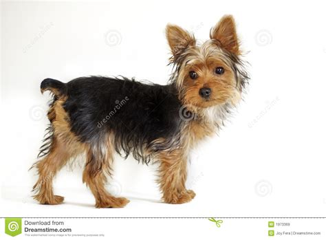 free yorkie puppy terrier royalty free stock images image 1973369