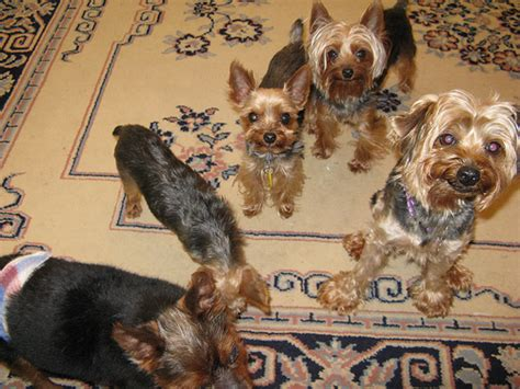 yorkie average size terrier average size dogs in our photo