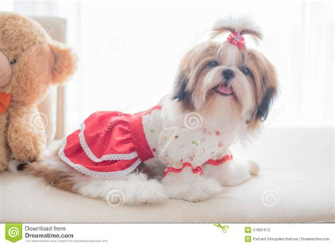 how to my shih tzu puppy to sit shih tzu puppy is sitting on sofa stock photo image 47961472