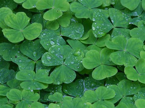 deerpark ireland clover dew drops science news
