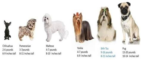 size of shih tzu shih tzu information center shih tzu size