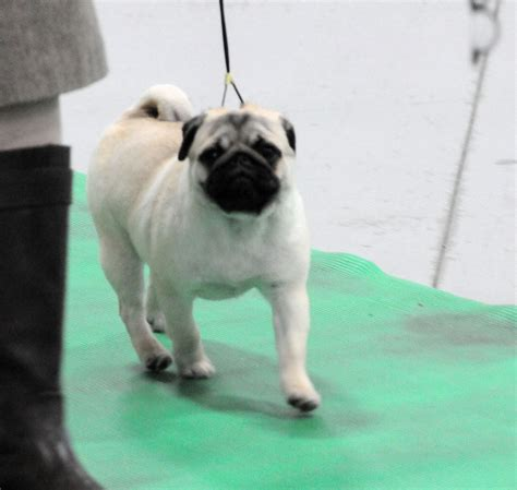 pinkk pugs pedigree