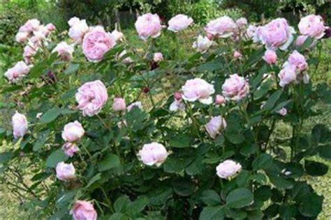 cura roselline in vaso come coltivare le consigli per avere fiori belli in