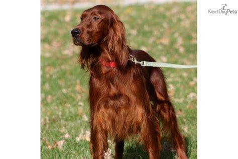 setter dogs for sale in ireland irish setter puppy for sale near louisville kentucky