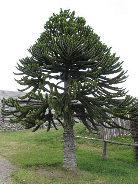 Araucania, or monkey puzzle, tree Photo