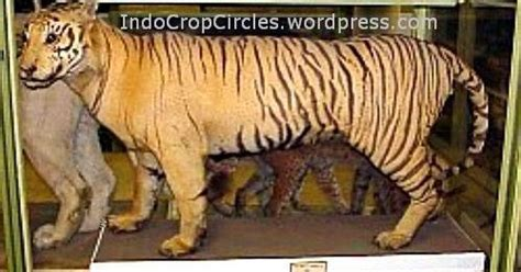 wallpaper harimau hitam gambar foto hewan foto terakhir harimau jawa