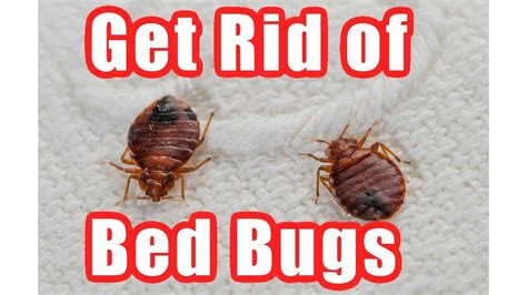 rid  bed bugs fast  home diy bed bug trap youtube
