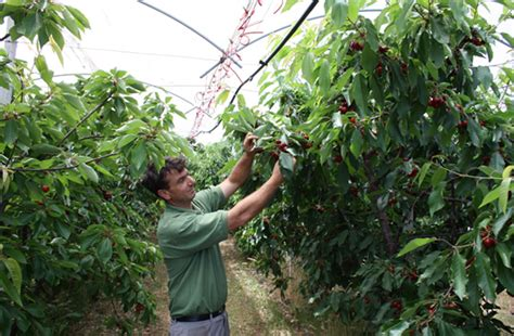 pianta di vite in vaso colapietra ciliegia puglia vaso basso www italiafruit net