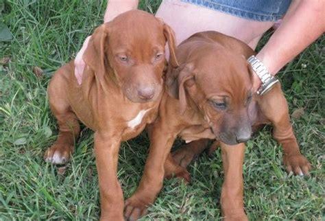 dogs for adoption ta rhodesian ridgeback sale singapore rhodesian ridgeback puppies buy buy rhodesian