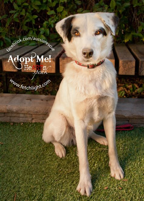 puppy rescue san diego february s adoptable of the month bandit aussie rescue san diego