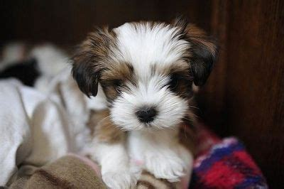 maltese shih tzu yorkie mix for sale shih tzu maltese mix puppies for sale memes