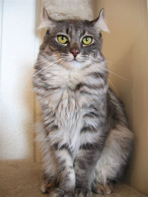 American Curl   Wiktionary