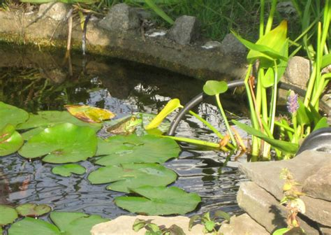 backyard frog pond breeding frogs in ponds petcha