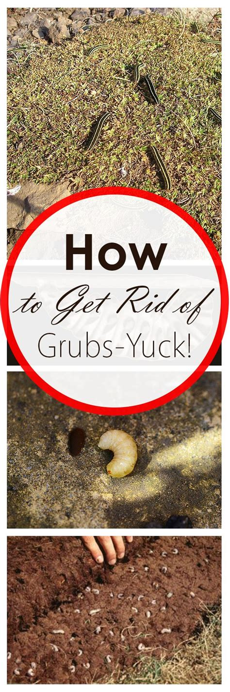 how to kill grubs naturally 2497 best gardening soothes my soul images on