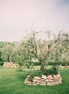 1000 images about olive trees on pinterest olive tree