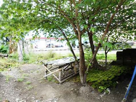 Daun Talok Segar pohon talok si kecil yang berkhasiat obat daun ijo