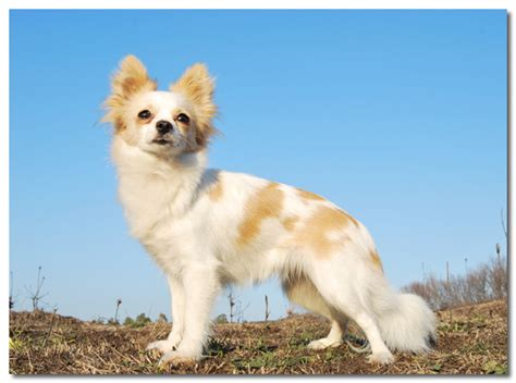 how to a chihuahua 5 reasons why chihuahuas run away and how to stop it