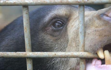Beruang Thailan perdagangan empedu beruang lingkaran setan pengobatan