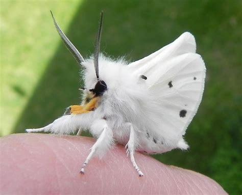 lifespan of a poodle moth venezuelan poodle moth pics
