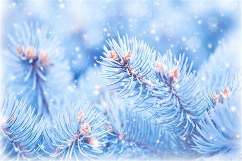wallpaper fir tree 5k 4k wallpaper christmas winter