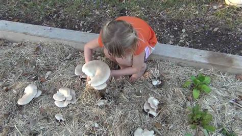 how to grow oyster mushrooms in your straw garden
