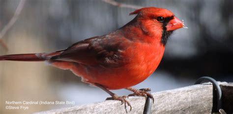 northern cardinal indiana cardinalis cardinalis in