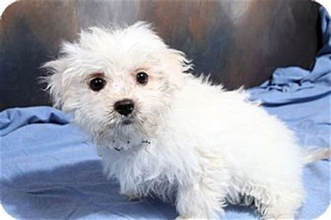havanese coton de tulear mix st louis mo coton de tulear havanese mix meet tundra coton a puppy for adoption