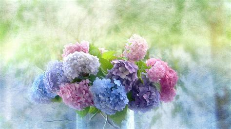wallpaper flower hydrangea hydrangea wallpaper high definition high quality