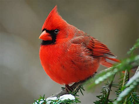 The Cardinal Detoxes by Researchers Uncover Gene Coded Enzyme Responsible For