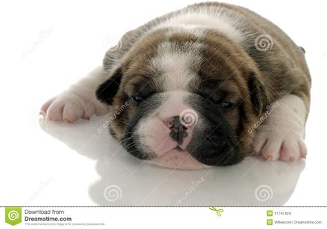 3 week puppy three week puppy stock images image 11741924